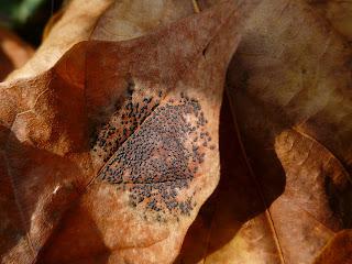 Speckled Tar Spot (Ryhtisma punctatum)