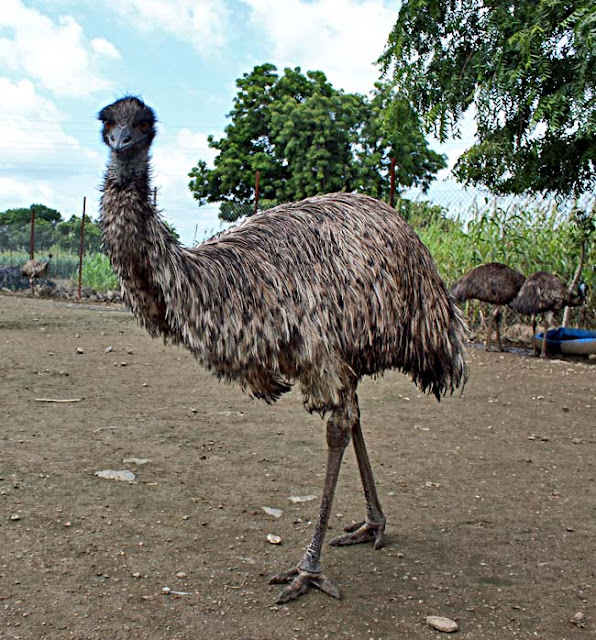 Emu the bird