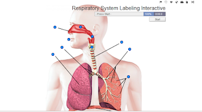 http://www.purposegames.com/game/respiratory-system-labeling-interactive-game