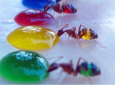 صور مدهشة لنمل بمعدة شفافة: نمل بكل الألوان !