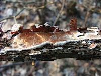 Byssomerulius corium