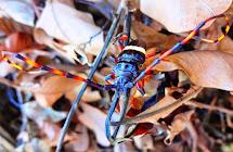 Cerambycidae no Ceará!!!