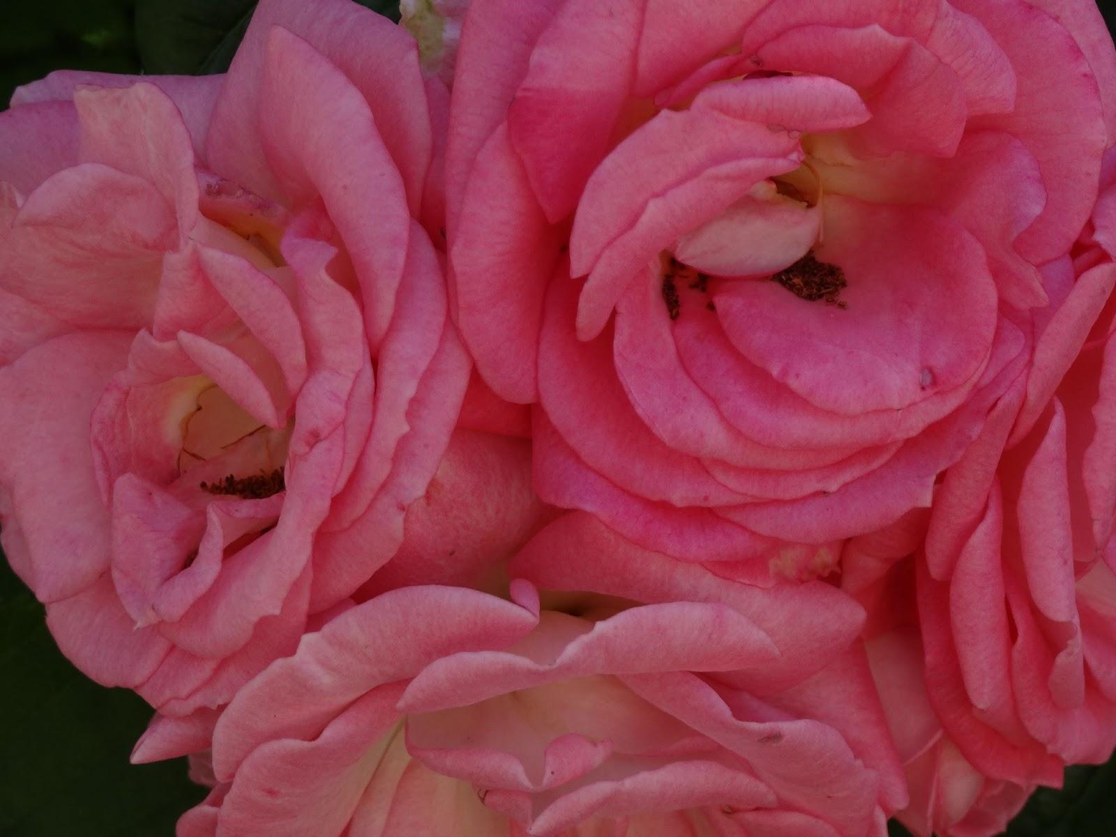 bodenseewellen so schmeckt der sommer rosenbl tengelee. Black Bedroom Furniture Sets. Home Design Ideas