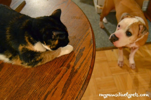 How To Properly Introduce A New Cat To A Dog