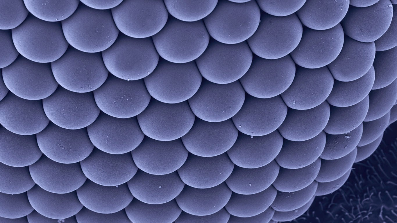 Compound eye of a female Asian tiger mosquito (© Dennis Kunkel Microscopy, Inc./Corbis) 220