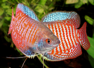 Info Ikan: 10 Jenis Ikan Hias Air Tawar Tercantik Untuk ...