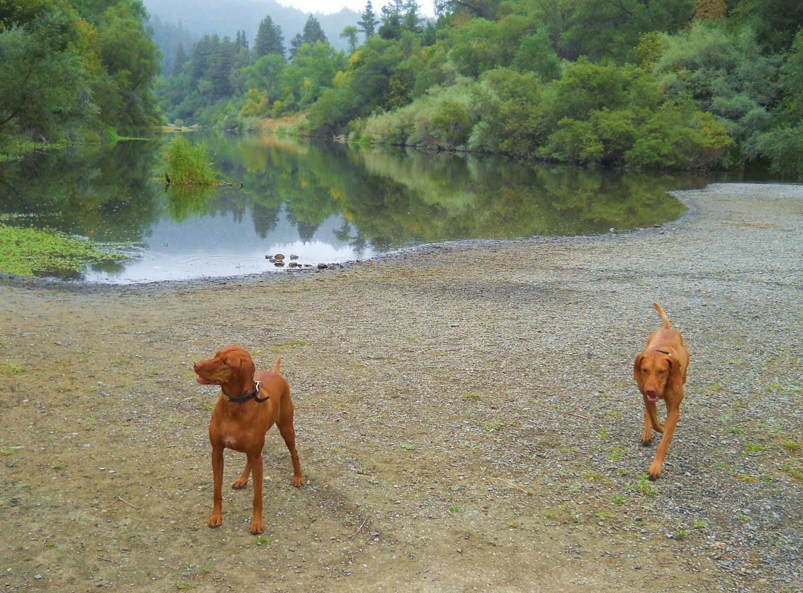 Redbirddog A Hungarian Pointer Vizsla Blog Hidden