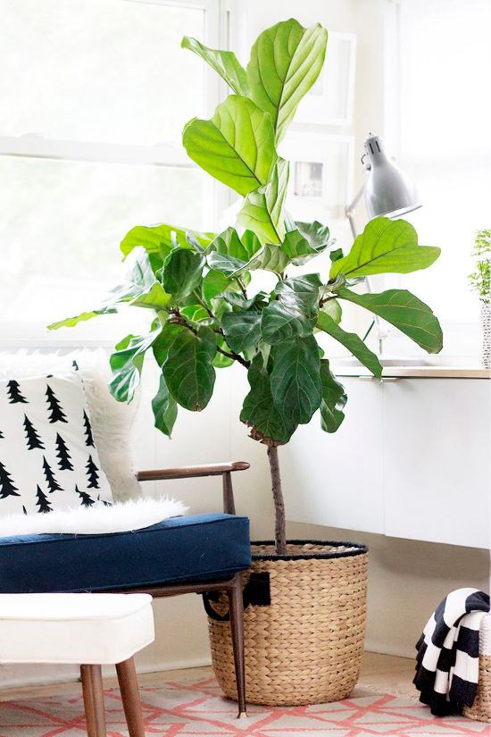 Un due tre ilaria trendy plants fiddle leaf fig ficus Large living room plants