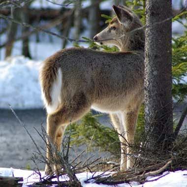 http://www.statesymbolsusa.org/Michigan/mammal_deer.html