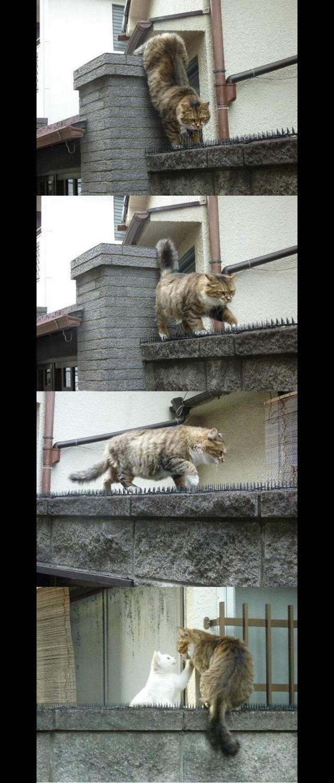 Gato se arrisca andando em muro cheio de espetos