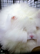 Often times angora Rabbit breeders are spinners and knitters.