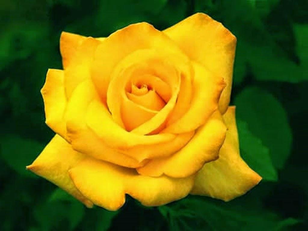 Ahora s significado de las rosas - Significado rosas amarillas ...