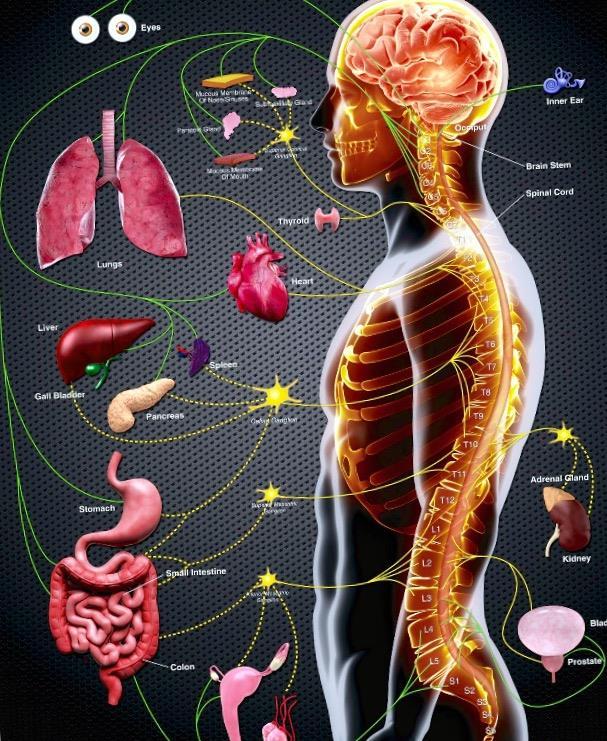 Vértebras, raíces nerviosas y órganos – ONA QUIROPRÁCTICA Barcelona ...