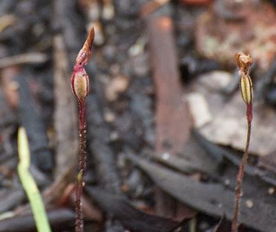 Sugar Orchid (Ericksonella saccharata)