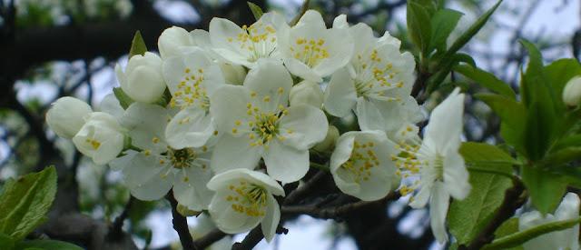 Kwiat mirabelki - Śliwy domowej. Fot Dariusz Marek Gierej