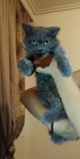Σήμερα 23/9 το απόγευμα στην περιοχή του Νέου Κόσμου βρέθηκε αυτό το γκρι γατάκι 5-6μηνων