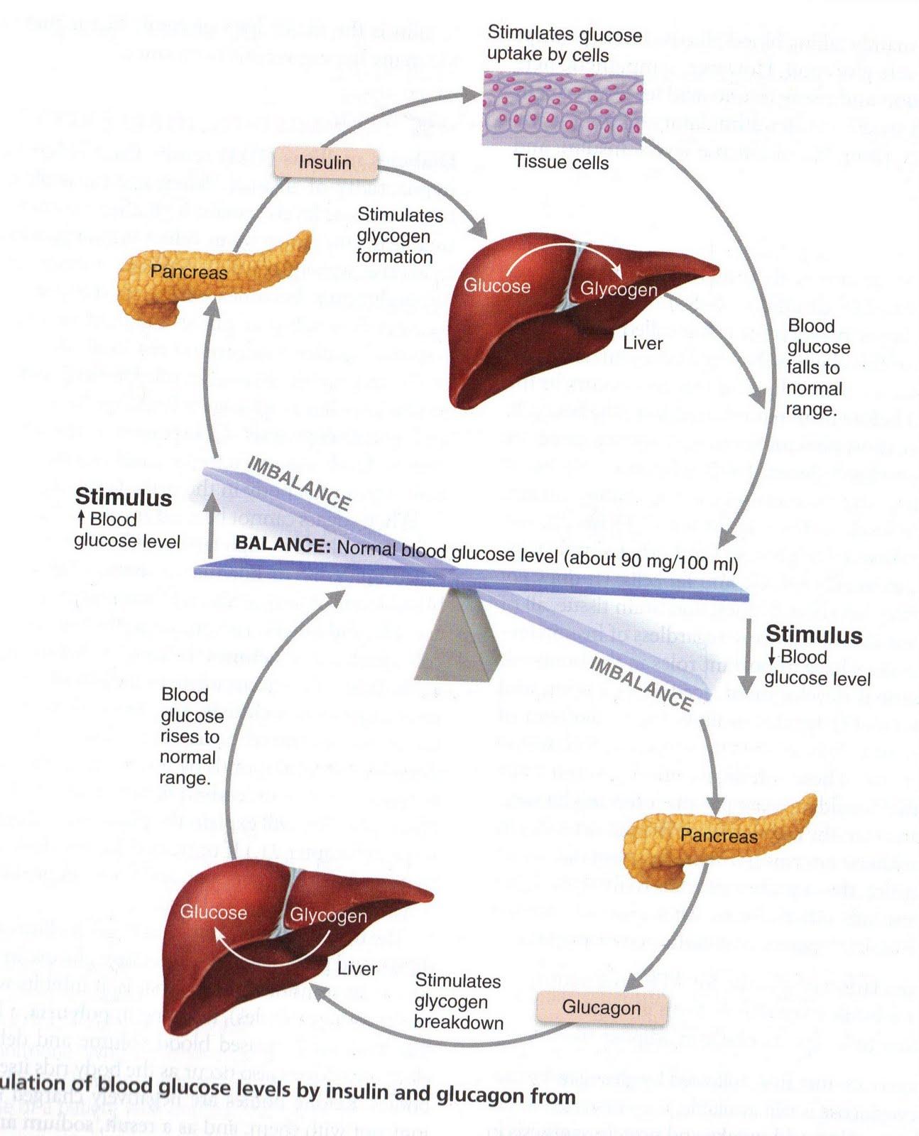 digestive system essay human anatomy physiology 2013 2014 mrs sheets ...