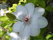 Klematis sorter i vår trädgård (klicka på bilden ...)