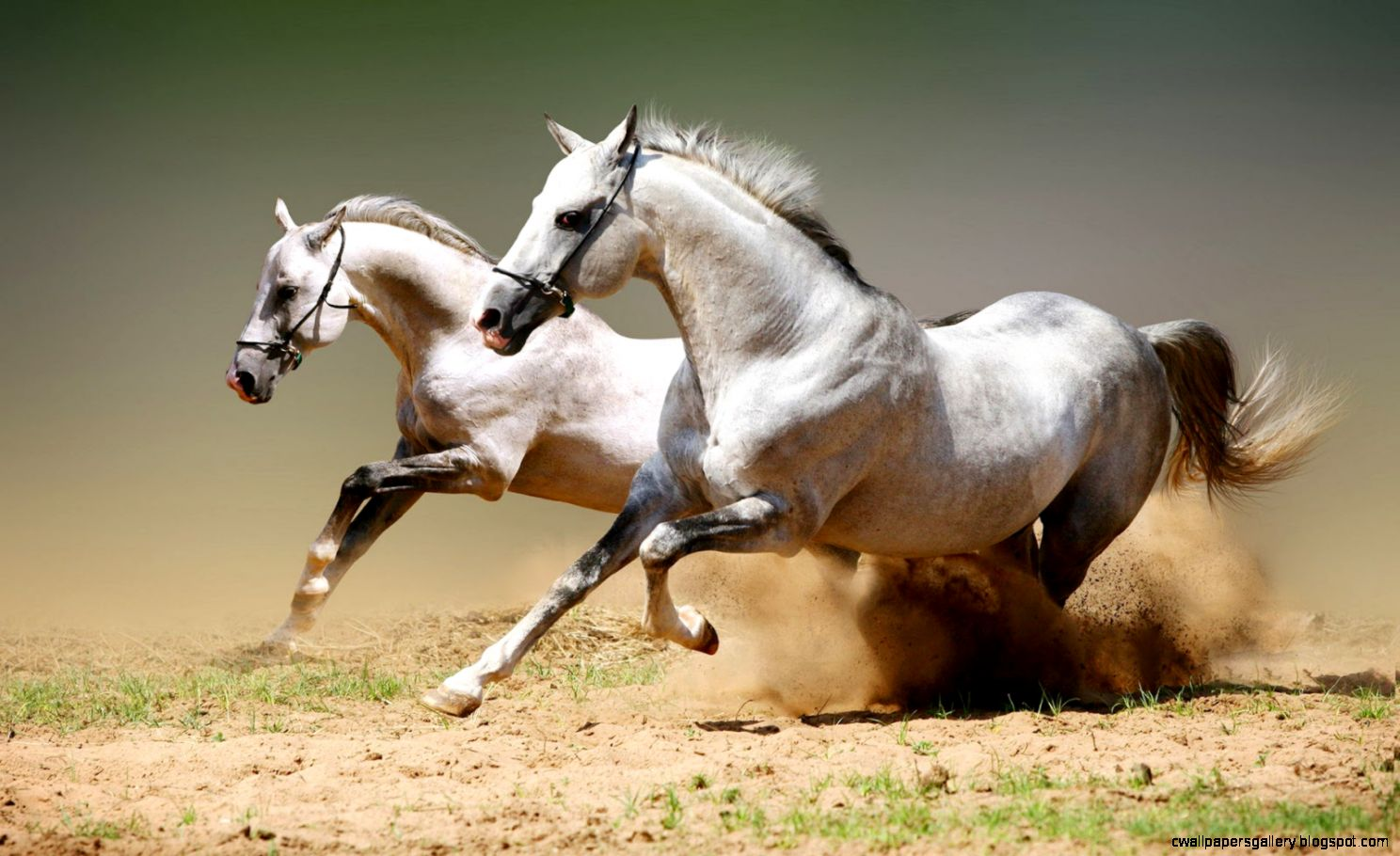 Running White Horse Wallpaper Wallpapers Gallery