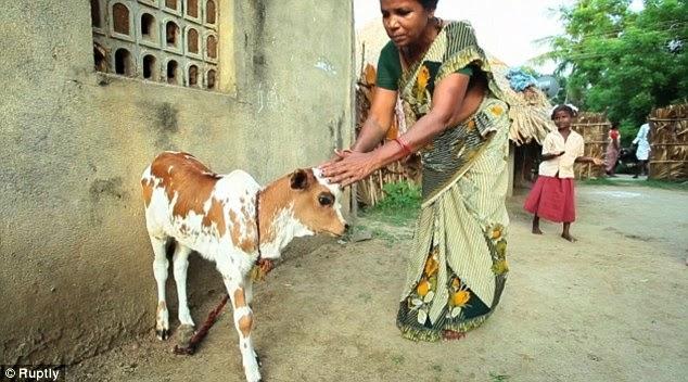 Sapi Lahir dengan Tiga Mata di India