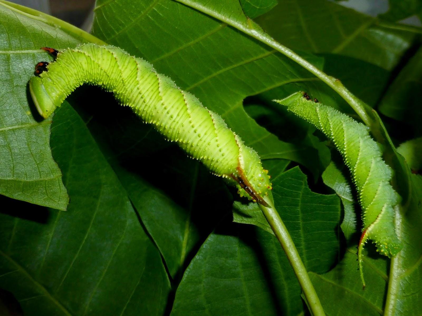 Phyllosphingia dissimilis caterpillar L4