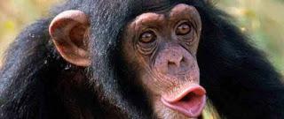 Foto Gambar Simpanse