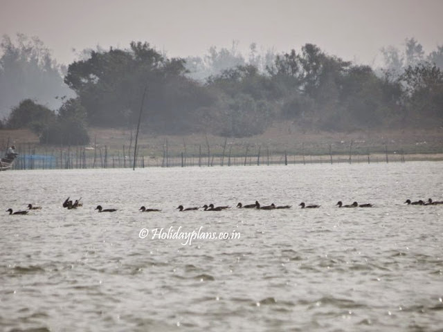 migratory birds in chilika lake