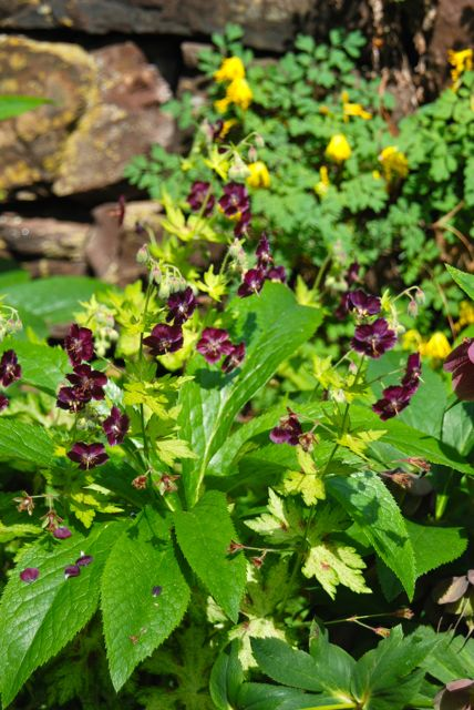 ... And these dark geraniums and yellow-blooming Corydalis lutea.