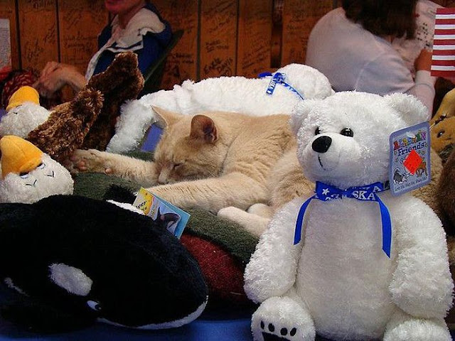 Stubbs is a cat and a mayor of Talkeetna, mayor stubbs, cat mayor, mayor of talkeetna