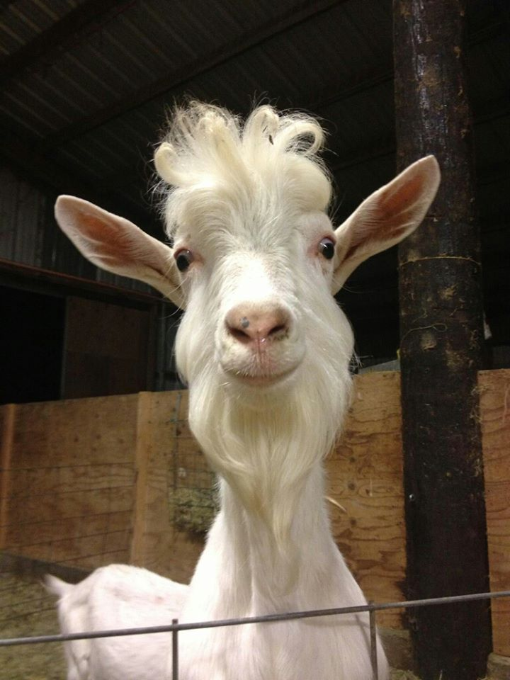 funny looking goat - photo #3