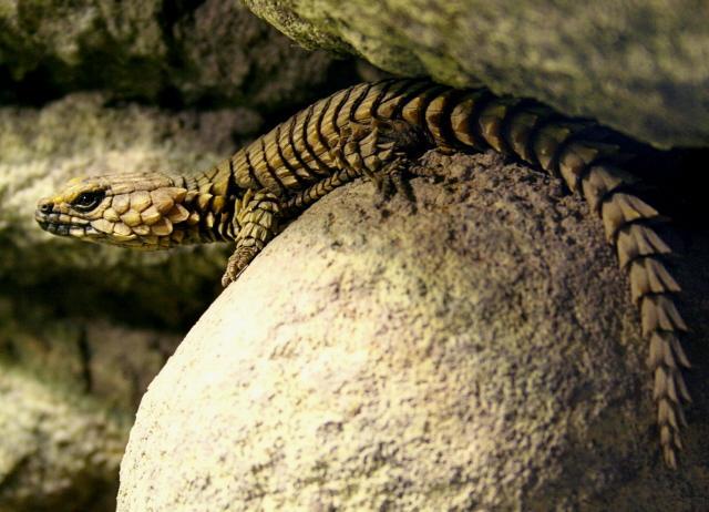 Armadillo lizard wallpaper - photo#21