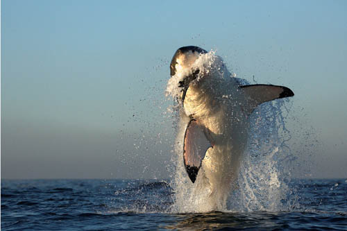 white shark hunting