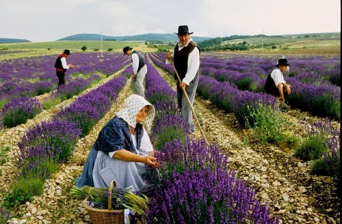 Hình ảnh hoa oải hương