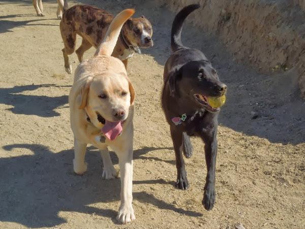5 year Yellow Labrador Cooper