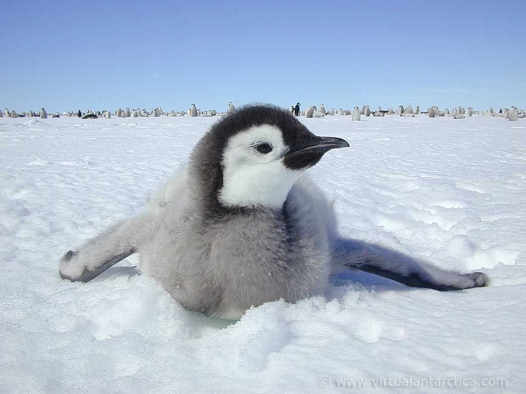 Baby emperor penguins sliding