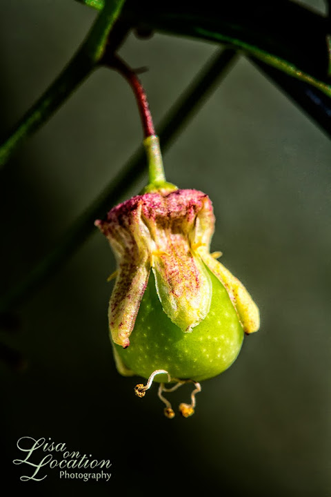 passiflora tenuiloba fruit