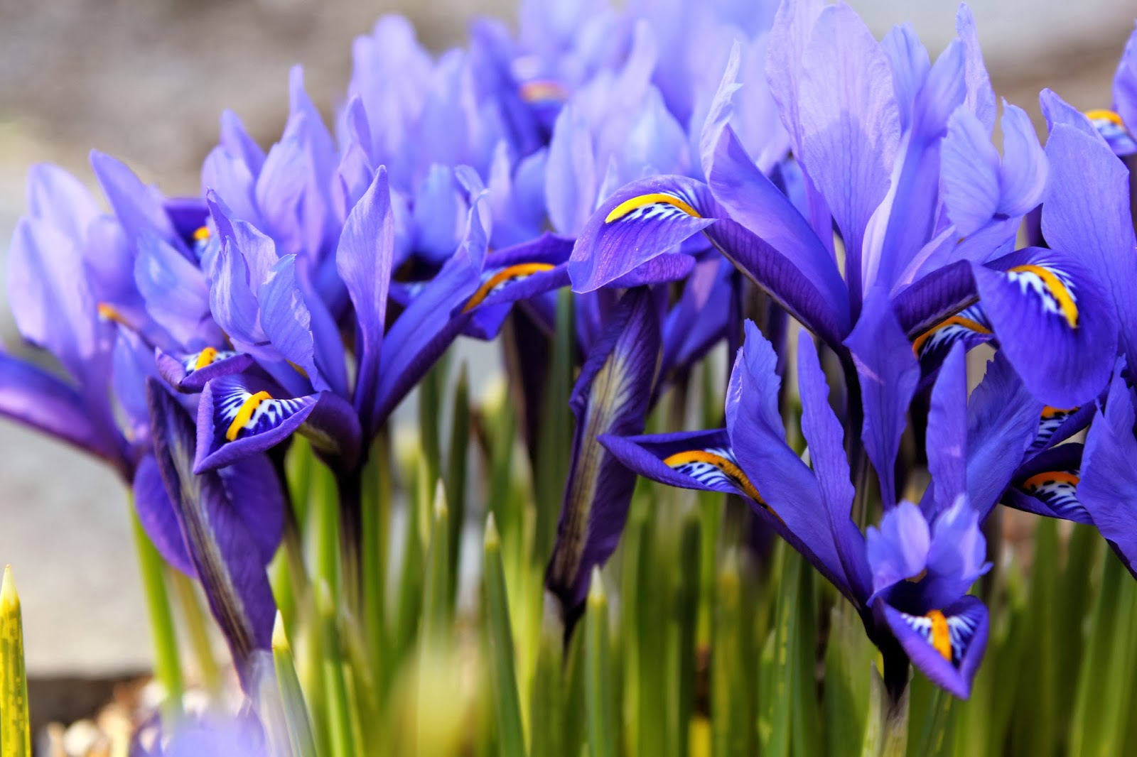 iris reticulata the garden of eaden. Black Bedroom Furniture Sets. Home Design Ideas
