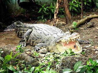 Mindoro, le Crocodile
