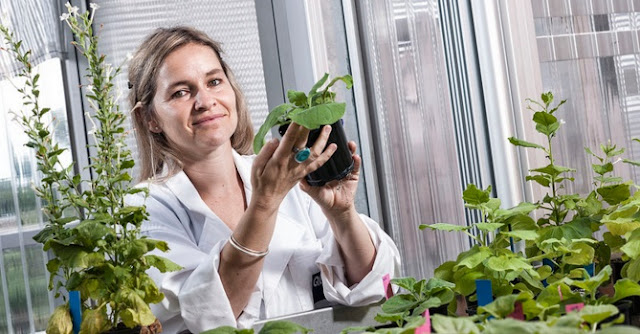 Julia Bally has discovered a plant with huge genome properties that can have the potential to be the 'laboratory rat' of the molecular plant world. This could open the door for such things as space-based food production. Credit: Erika Fish