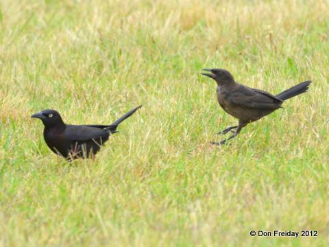 fledgling grackle - photo #11