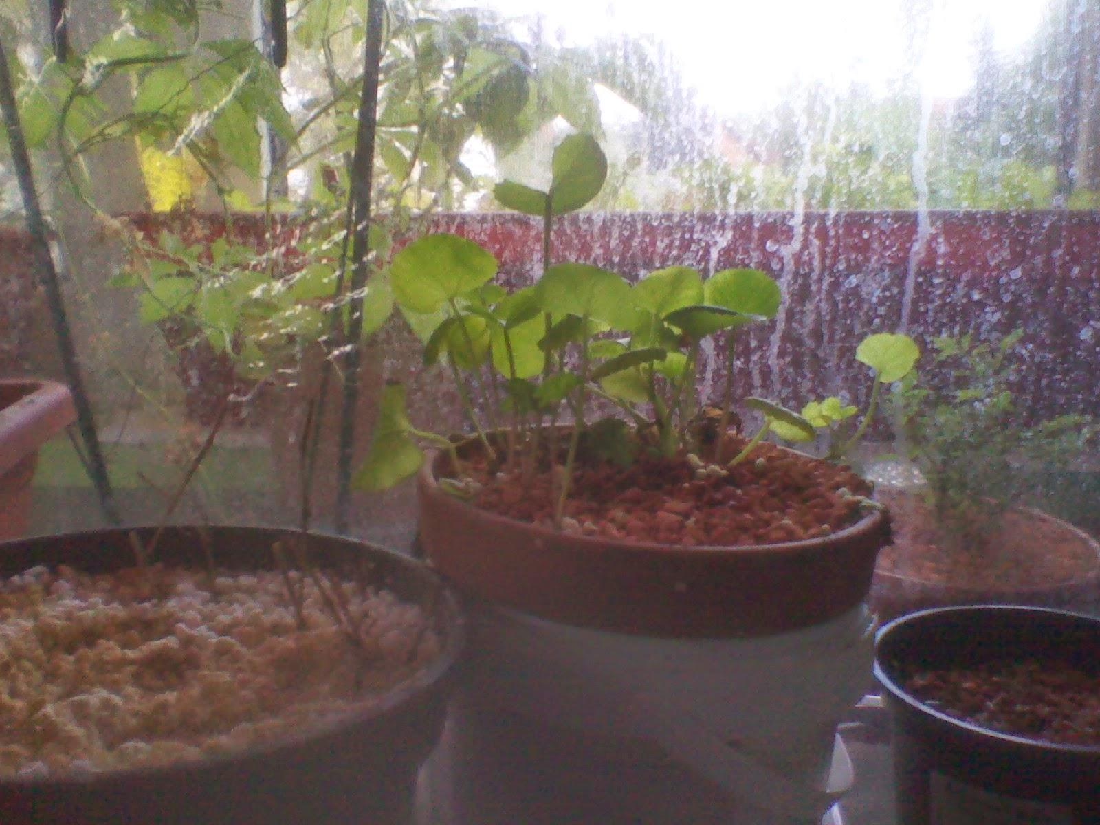 selbstversorgung exotische einheimische pflanzen im zimmer und garten april 2014. Black Bedroom Furniture Sets. Home Design Ideas
