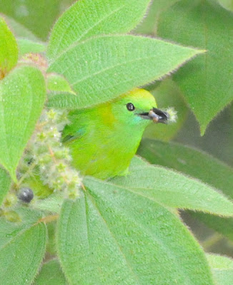 Blue-winged Leafbird (Chloropsis cochinchinensis) f
