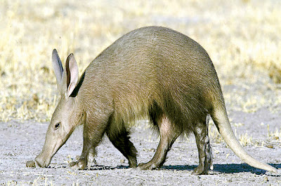 Aardvark, African, Animal, Afrikaans, Insectivore,