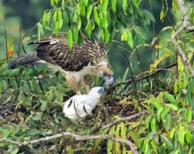 Águila Monera de Filipinas con Polluelo