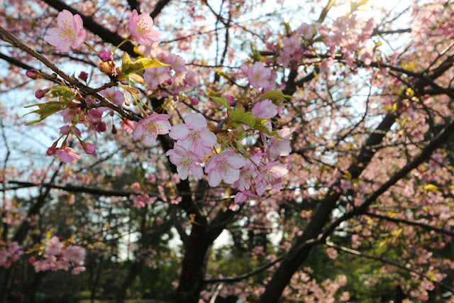 Beautiful pink cherry blossom at Imperial Palace East Garden in Tokyo, Japan