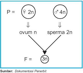 Perkawinan 2 individu yang menghasilkan organisme triploid