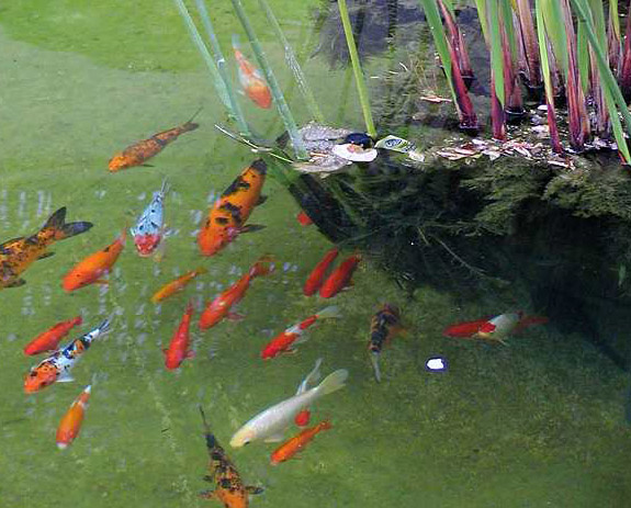 Oasis aquarium poisson rouge for Aquarium poisson rouge taille
