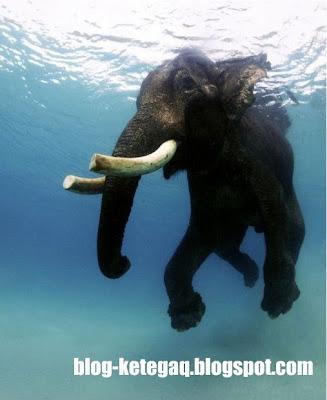 gajah dalam air