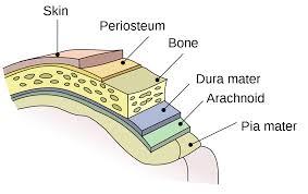 Struktur Meninges