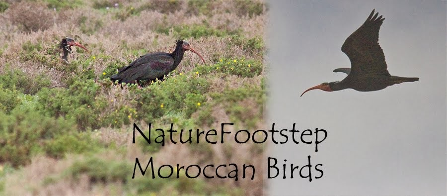 NatureFootsteps Moroccan birds